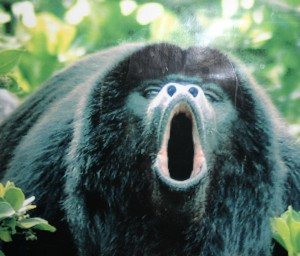 Howler Monkeys doing what they do